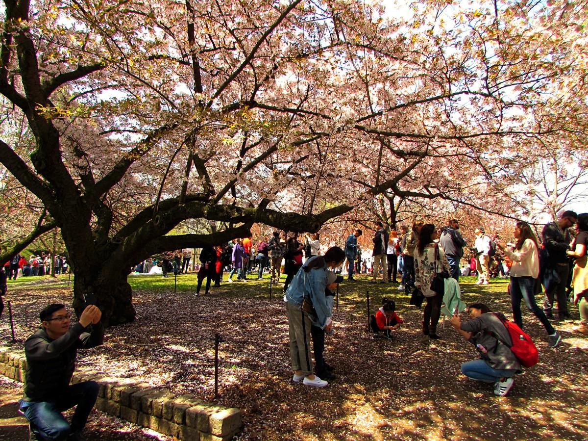 Brooklyn's Own Cherry Blossom Festival | Sakura Matsuri2018